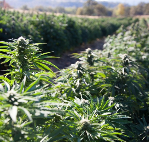 hemp and cannabis products trademarks